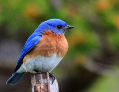 Eastern Bluebird - Saw my first one of the spring recently. We get them in the yard every year. They must be nesting nearby.