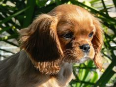Top 5 Reasons to Own a Cavalier King Charles Spaniel - PetHelpful - By fellow animal lovers and experts Cavalier King Spaniel, Cocker Spaniel Puppies, Spaniel Dog, Corgi Puppies, Ruby King Charles Cavalier, King Charles Puppy, Teacup Puppies, Cute Dogs And Puppies, Doggies