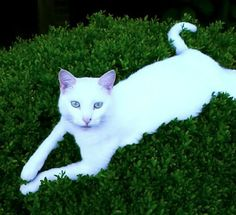 """My cat Bec. Dawn, Wagener, SC. 5/21/14. Bec looks exactly the same as """"Snowball"""", a cat i had the honor of sharing a life with for 17 and a half years."""