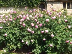 #BrotherCadfael at #AngleseyAbbey #roses www.pinterest.com/annbri/