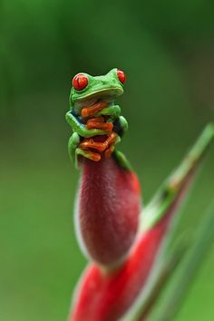 Tree Frog sitting on a Bird of Paradise Plant