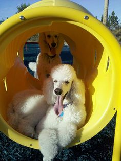 playing at the playground poodles