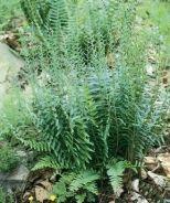 Christmas Fern (Polystichum acrostichoides) - Monrovia - Christmas Fern (Polystichum acrostichoides)