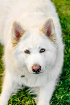 © Lebolo Photography | White Husky Shepherd mixed breed, gorgeous dog, on location dog photography