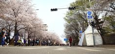 A stroll along the Yeouiseo-ro cherry blossoms roard in Yeouido. The Yeongdeungpo Yeouido Cherry Blossoms Festival takes place fron Apr 3 to13.