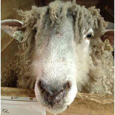 Lincoln sheep , I see the resemblance lol. I <3 sheep.