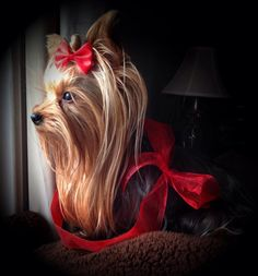 New | A community of Yorkshire Terrier lovers!