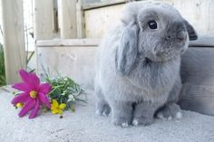 Seriously cute gray Holland Lop bunny...