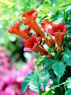 """'Monbal' Dark Red Discovered by Monrovia Nursery, this new variety of """"Campsis Radicans"""" offers improved habit and flower color over the species. Attracts hummingbirds and thrives on neglect. Tropical Flowers, Colorful Flowers, Lake Landscaping, Monrovia Nursery, Campsis, Landscape Solutions, Deer Resistant Plants, Black Flowers, Orange Flowers"""
