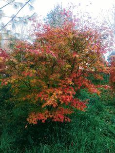 politica,aceri e rock roll: Acer palmatum Yadawara (fall colors 2017)
