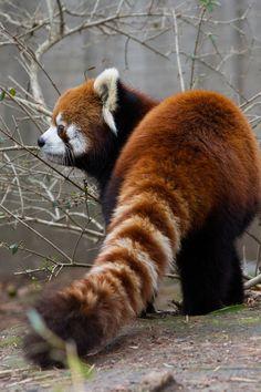 Rare Animals, Cute Baby Animals, Animals And Pets, Funny Animals, Red Panda Cute, Panda Love, Photo Panda, Photo Animaliere, Cute Animal Photos