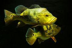 Monoculus Peacock Bass (Cichla monoculus)   Flickr - Photo Sharing!