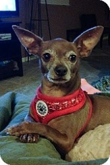 Pictures of Maggie a Chihuahua Mix for adoption in Mesa, AZ who needs a loving home.