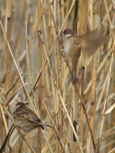 sparrow : スズメ