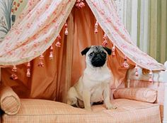 a pug from movie, Marie Antoinette