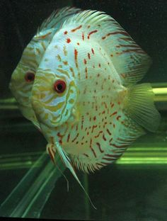 High Body White Butterfly Discus Fish from Discus Delivery