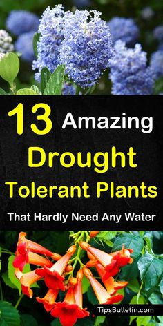 Discover 13 colorful drought-tolerant plants for your front yard or flowering pots. Perfect for garden containers and front yards in zone 5 hot areas like California, Texas, Arizona, Nevada or New Mexico. The perfect perennials for full sun conditions.