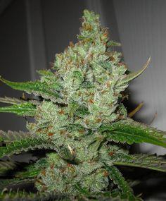 Super Lemon Haze ( marijuana cannabis ) #The best seeds #http://www.spliffseeds.nl/silver-line/blue-berry-seeds.html
