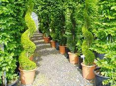 cupressus topiary - Google Search