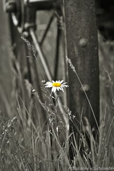 Nature Photography, Single Daisy in Black & White, Splash of Color, Fine Art Flower Print, Wagon Wheel, Simplicity