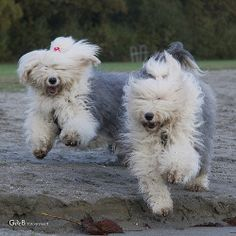 This is why I like Old English Sheepdogs so much! =D
