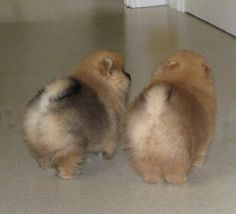 (Fluffy puppy butts) Damascusroad Pomeranians Puppy Photos