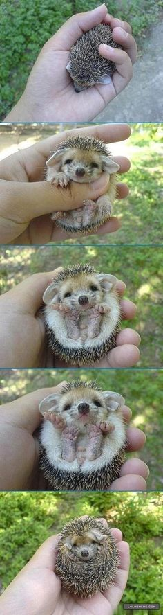 I actually can't handle the adorableness of this hedgehog. <3 <3