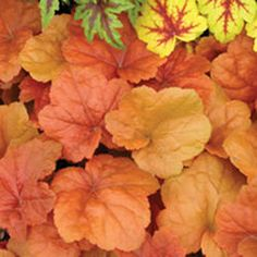 Make a statement in your garden with the dazzling foliage color, texture and shapes Heuchera perennials provide. Shop for your plants from Bluestone Perennials. Perrenial Flowers, Flowers Perennials, Planting Flowers, Dry Shade Plants, Fall Plants, Garden Plants, Container Plants, Container Gardening, Best Perennials