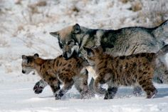 An unlikely group of a wolf and mountain lion cubs playing together at Prairie Wind Wildlife Refuge between Kiowa and Agate, Colorado.