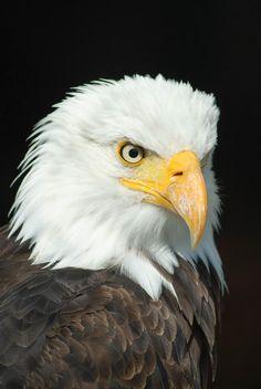 Portrait of a bald eagle - by our member bogitw http://pixabay.com/p-723540
