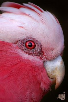 Female Galah.. Thats or its a blood thirsty vampire!