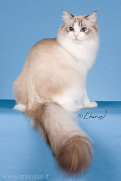 Ragdoll cat breed looks like my kitties.