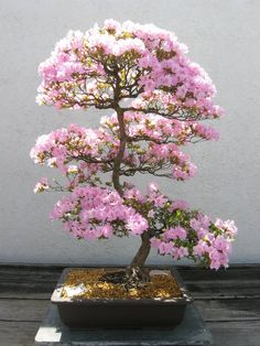 I want a bonsai tree!