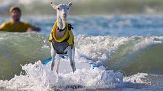 surfing goat pismo beach