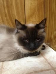 Ragdoll cat rescue new jersey