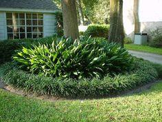 Cast Iron Plants Outdoors - Buethe.org