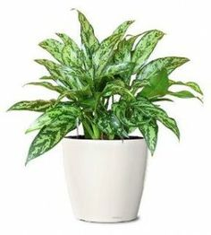 Plants for the office : chinese evergreens
