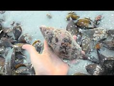 Collecting Shells at Sanibel Pier -- if I were there, I would die!!! Omg! So so many good ones!!