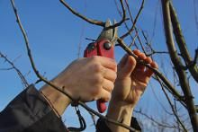 Fruit trees do not need to be pruned to produce fruit. That said, there are many reasons to do so. Read on to learn how to prune your fruit trees! Prune Fruit, Pruning Fruit Trees, Pruning Roses, Tree Pruning, Citrus Trees, Peach Trees, Tree Care, Garden Club, Fig Tree