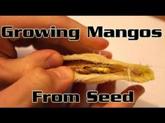 ▶ Growing Mangos From Seed - How to plant a mango seed and grow a mango tree - YouTube