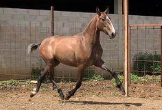Potra PRE especial Horses, Animals, Horses For Sale, Equestrian, Animales, Animaux, Animal, Animais, Horse