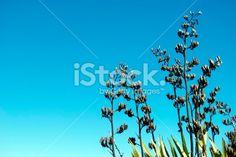 New Zealand Flax (Harakeke) in Flower Royalty Free Stock Photo New Zealand Flax, Kiwiana, Flower Photos, Image Now, Royalty Free Stock Photos, Profile, Twitter, Flowers, Photography