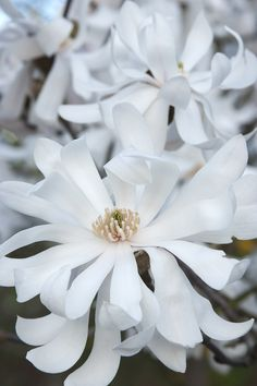 Royal Star Magnolia -- Early bloomer with large, fragrant flowers before spring foliage.  About: Full sun. Reaches up to 15 ft. tall and 12 ft. wide.Deciduous. (Zone: 4 – 9)  Use: Moonlight or white garden.