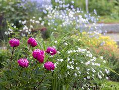 Blumenbeet gestalten mit Pfingstrose und Staudenlein, Polsterstauden und im Frühling jede Menge Tulpen