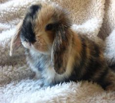 calico baby Lop....how adorable