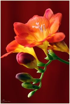 Orange Flowers - Freesia, they come in other shades and their smell is unbelievable, the best of all they are so easy to care for. Exotic Flowers, Orange Flowers, Amazing Flowers, My Flower, Beautiful Flowers, Fresia Flower, Beautiful Gorgeous, Calla, Deco Floral