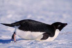 Adelie penguin tobogganing, Pygoscelis adeliae, Antarctica