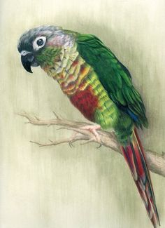 Conure Parrot by Heather A. Mitchell Colored Pencil ~ 11 x 14
