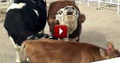 Cow Cries All Night Over Loss of her Calf - Then They Reunite - Beautiful. Video