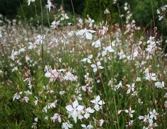 Learn how to grow gaura in your garden. Gaura plant care and growing is easy. This drought tolerant shrub thrives in well-drained soil and loves to bath in the day long sun. Garden Shrubs, Garden Trees, Trees To Plant, Garden Plants, Garden Web, Balcony Garden, Green Garden, Easy Garden, Gaura Plant